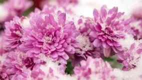 Pink chrysanthemum covered with snow. Flowers in the snow. Autumn flowers and white snow. royalty free stock image
