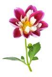 Pink chrysanthemum dahlia Stock Photography