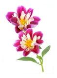 Pink chrysanthemum dahlia Stock Photos