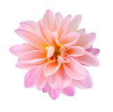 Pink chrysanthemum dahlia Royalty Free Stock Image
