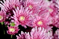 Pink Chrysanthemum (Dendranthemum grandifflora) in closed-up. royalty free stock photos