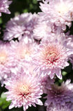 Pink chrysanthemum, floral background, macro image Royalty Free Stock Photo