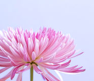 Pink chrysanthemum flower on blue Royalty Free Stock Images