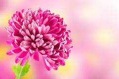 Pink chrysanthemum flower Royalty Free Stock Images