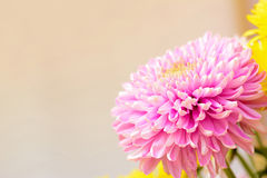 Pink Chrysanthemum flower - border design background. With copy space royalty free stock photography
