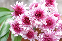 Pink Chrysanthemum flower in the flower pile and leaves on wood. Ground and grey background Stock Image