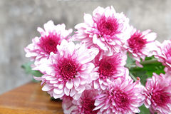 Pink Chrysanthemum flower in the flower pile. On wood ground and grey background Royalty Free Stock Image