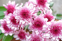 Pink Chrysanthemum flower in the flower pile. On wood ground and grey background Stock Photography
