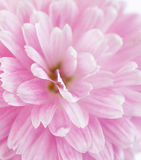 Pink  Chrysanthemum flower Royalty Free Stock Photography