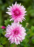 Pink chrysanthemum flower Stock Photo