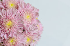 Pink chrysanthemum flower Royalty Free Stock Images