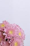 Pink chrysanthemum flower Stock Photography