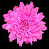Pink Chrysanthemum Flower Isolated over Black Royalty Free Stock Image