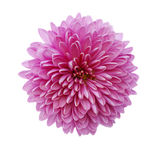 Pink chrysanthemum flower isolated on white Stock Photo