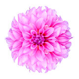 Pink Chrysanthemum Flower Isolated Royalty Free Stock Photo