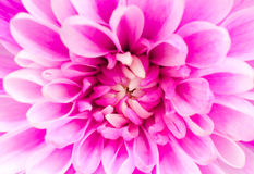 Pink chrysanthemum flower macro Royalty Free Stock Photo