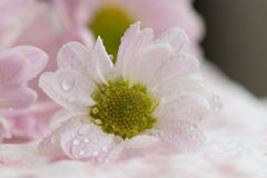 Pink chrysanthemum flower. Macro of a pink chrysanthemum flower with dew drops Stock Photography