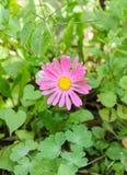 Pink Chrysanthemum flower, mums or chrysanths, genus Chrysanthemum in the family Asteraceae, green field, close up Royalty Free Stock Images