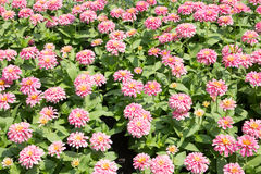 Pink Chrysanthemum Flower Summer Field Royalty Free Stock Photography