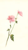 Pink chrysanthemum flower watercolor painting Stock Photos