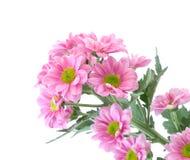 Pink chrysanthemum flower Royalty Free Stock Photos