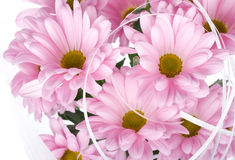 Pink chrysanthemum flowers Stock Images