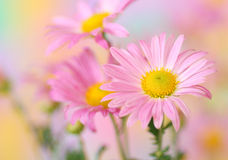 Pink chrysanthemum flowers Royalty Free Stock Images