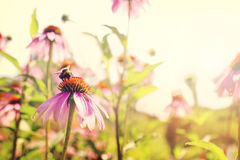 Pink chrysanthemum flowers with bee in summer sunset Stock Image