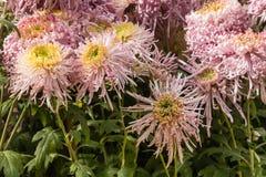 Pink chrysanthemum flowers in bloom. Closeup of pink chrysanthemum flowers in bloom Royalty Free Stock Photo