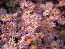 Pink Chrysanthemum flowers blooming in Central Park royalty free stock photography