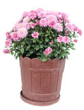 Pink chrysanthemum flowers in a brown flower pot close up Royalty Free Stock Images