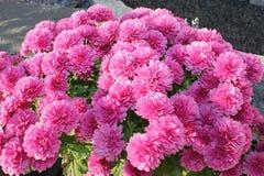 Pink chrysanthemum flowers bush closeup stock photos