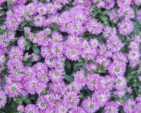 Pink Chrysanthemum flowers closeup Stock Photos