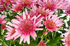 Pink Chrysanthemum flowers closeup. Stock Image