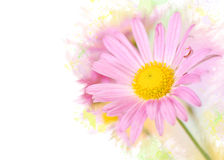 Pink chrysanthemum flowers on colorful background Royalty Free Stock Photography