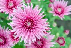 Pink Chrysanthemum flowers in full bloom. Closeup of Pink Chrysanthemum flowers in the garden Stock Images
