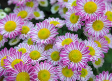Pink Chrysanthemum flowers in full bloom. Closeup of Pink Chrysanthemum flowers in the garden Royalty Free Stock Photography