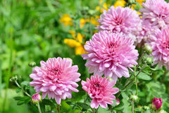 Pink chrysanthemum flowers in the garden Stock Images