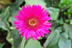 pink chrysanthemum flowers in garden Stock Photos