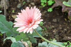 pink chrysanthemum flowers in garden Royalty Free Stock Photo