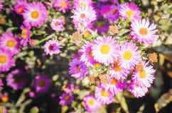 Pink chrysanthemum flowers macro image, floral vintage background. Closeup, soft focus. Pink chrysanthemum flowers macro image, floral vintage background royalty free stock photography