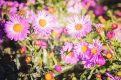 Pink chrysanthemum flowers macro image, floral vintage background. Closeup, soft focus stock image