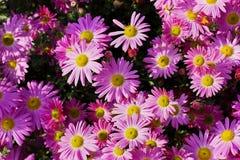 Pink chrysanthemum flowers meadow Stock Images