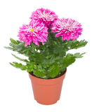 Pink chrysanthemum flowers in pot Stock Photos