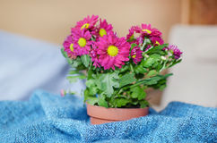 Pink chrysanthemum flowers in pot Royalty Free Stock Image