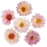 Pink chrysanthemum flowers. Set of 6 pink chrysanthemum flowers isolated on white background Royalty Free Stock Photography