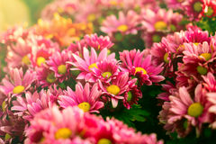 Pink chrysanthemum flowers in vintage color Stock Photo