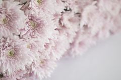 Pink chrysanthemum flowers on white desk. Selective focus Stock Images
