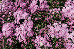 Pink chrysanthemum. In the garden Stock Images