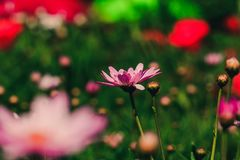 Pink Chrysanthemum in the garden is blooming stock photo